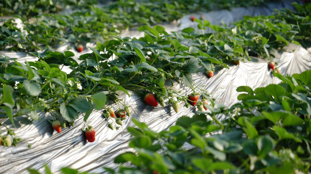 成安草莓区域公用品牌助力特色农业发展